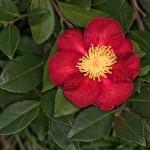 Camellia_Sasanqua_DSC3921